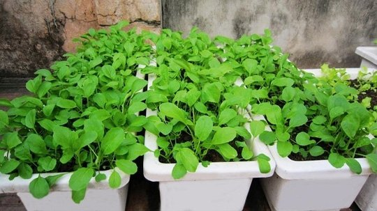 Chậu nhựa trồng rau