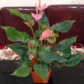 Hoa Tiểu hồng môn